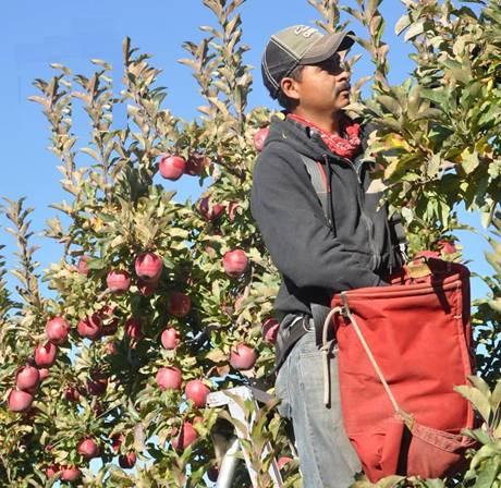 Chăm sóc cây ăn quả bằng thang nhôm